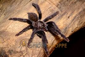 Do Tarantulas Shed Their Legs by Kiss My Big Hairy Spider August 2015