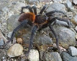 Do Tarantulas Shed Their Legs by A Hair U0027s Breadth Away New Tarantula Species And Genus Honors