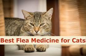 fleas on cats symptoms best flea medicine for cats to keep fleas away