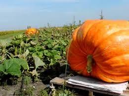 Pumpkin Patch Columbus Ga by Heap U0027s Giant Pumpkin Farm U2013 A Family Run Farm In Minooka Il