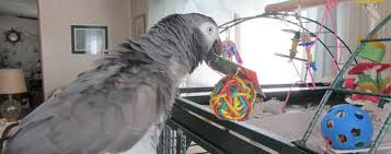 Parrot Caught Singing Bodies Hit The Floor by African Grey Parrot African Grey Biting