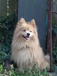 American Eskimo Shedding Problem by Pomeranian Dog Wikipedia