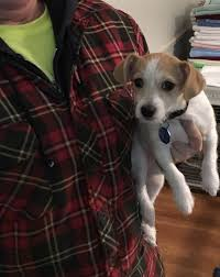 Do Long Haired Chiweenies Shed by Jack Chi Dog Breed Information And Pictures