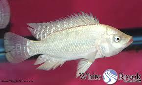 Whitetilapia Wb Hawaiian Gold Tilapia