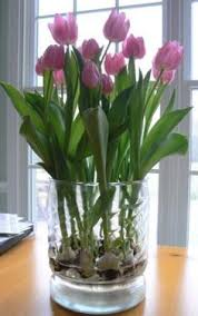 tulips grown in a glass vase tulips to be in a wide glass vase