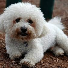 small non shedding hypoallergenic dog breeds breed dogs picture