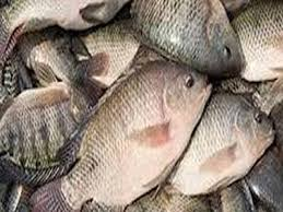 Tilapia Fish Import Can Nigeria Meet Local Needs