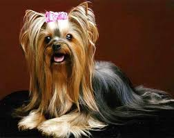 do yorkies shed a lot yorkshire terrier shedding yorkiemag