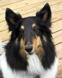 Sheltie Shedding Puppy Coat by Everything About Your Shetland Sheepdog Luv My Dogs