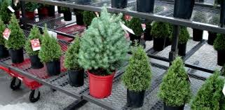 Plantable Christmas Trees For Sale by How To Select And Care For A Live Christmas Tree Today U0027s Homeowner