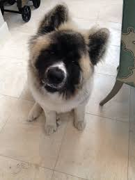 do haired akitas shed 13 best haired akita images on akita stuff