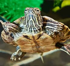 turtles as pets care information petsmart