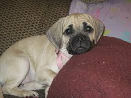 Do Pugs And Puggles Shed by Puggles Rule Home Page