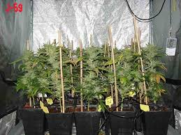 fin de floraison cannabis exterieur journal de culture cannabique
