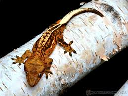 Halloween Harlequin Crested Gecko For Sale northern gecko canada u0027s source of premium u0026 pure bloodline new