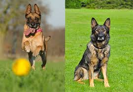 belgian malinois vs german shepherd which is the best family dog