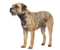 Do Border Terriers Shed by Pet Grooming Products U0026 Tips Wahlpets Com Care For My Dog