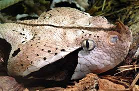 West African Gaboon Viper Head