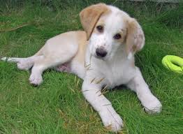 Do Brittany Spaniels Shed Hair by Brittany Spaniel Lab Mix Furry 4 Legs Pinterest Brittany