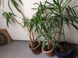 drei yucca palmen abzugeben