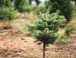 You Can Start Fir Trees By Seed But May Have Better Luck Planting Saplings