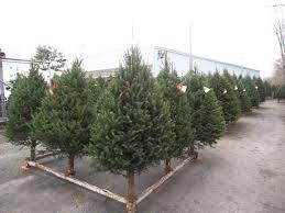 Christmas Tree Seedlings by Christmas Trees Ferestien Feed U0026 Farm Supply