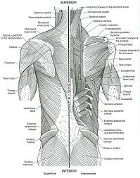 Macroscopic Anatomy Coloring Book Muscles With Essentials Of