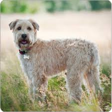 Do Wheaten Terriers Shed by Soft Coated Wheaten Terrier Dog Breeds Purina