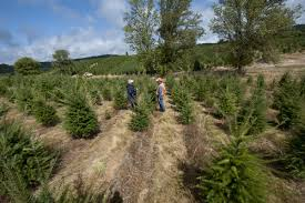 Christmas Trees Grow In Rows