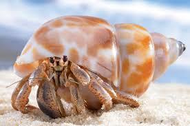 Halloween Hermit Crab Care by Crustacean Care