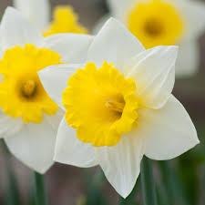 daffodil bulbs item 3619 cornish king for sale