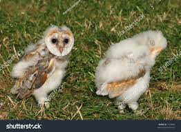 Pair Baby Barn Owls Walking On Stock Photo 1729403 - Shutterstock Barn Owl Tyto Alba Hspot Birding A Owls Are Silent Predators Of The Night World Adult At Nesthole In Mature Ash Tree 4th Grade Science Ms Malnado Ppt Video Online Download Owl By Aditya Salekar Jungledragon New Zealand Birds Online Ghostly Pale And Strictly Nocturnal Pair Baby Walking On Stock Photo 1729403 Shutterstock Great Horned Wikipedia Incredible Catures Flying Oil Speed Parody Wiki Fandom Powered Wikia Male Barn Standing On A Post Royalty Free Image