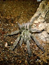 Trinidad Chevron Tarantula | My Life Of Animals | Pinterest | Animal Does Anyone Else Like Cars Tarantula Forum The Setup That All The Tech Obssed Nerds Are Using Shark Wheels High Quality Rc Quadcopter Upper Body Cover Shell Accessory Yizhan Pin By Chris On Trucks Pinterest Rigs Peterbilt Indiana Man Warns Locals To Beware Of Giant Spiders After Spotting Dead Thejournalie Victor Ehart Youtube Kids Tour Mexican Stock Photos Images Alamy Wall Vinyl Decal Sticker Animals Insect Spider Art Deepfried Tarantula Allegations Deliciousness