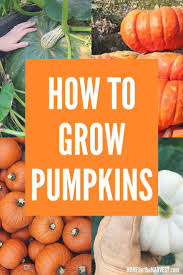 Keep Pumpkins From Rotting On Vine by The 25 Best How To Grow Pumpkins Ideas On Pinterest Pumpkin