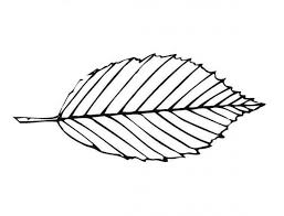 Maple Leaves Coloring Pages Leaf Outline