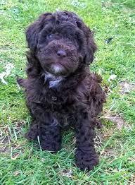 lhasa apso puppy shedding 83 best lhasa poodle mix images on poodle mix lhasa