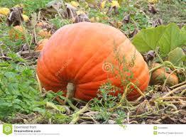Big Orange Pumpkin Patch Celina Texas by The Big Orange Pumpkin Patch