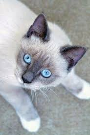 snowshoe cat snowshoe siamese lovetoknow