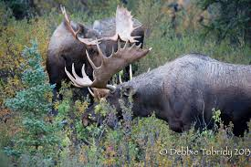 Bull Moose Shedding Antlers by Please End The Moose Drought Tnwa Photography
