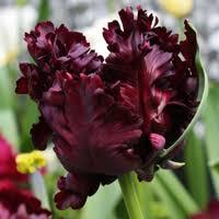 order flower bulbs youtulip co uk