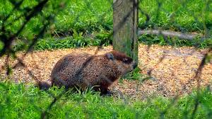 Groundhog In My Neighbours Backyard - YouTube More 25 Marauder Groundhogs And Predator Action Airguns Guns Best Baby Groundhog Ideas On Pinterest What Is A Its Like To Plant Backyard Vineyard Wine Enthusiast Magazine Groundhog Day Walks The Backyard Youtube April 2013 Christfaithpower Mdwildlife Ungardened Moments A Wombat In Our Search Results The Smell Of Molten Projects How Do You Keep Groundhogs Out Of Garden Home Outdoor Decoration Tree River June Glassblowerinfo Animals Holland Bucks County Theyre Back Wildlife Removal Joplin Neosho Carthage Mo