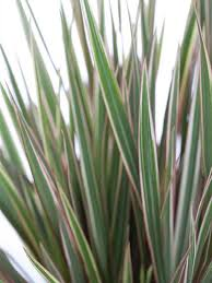 dracaena marginata drachenbaum gartenvielfalt