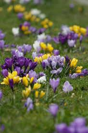 all about crocus