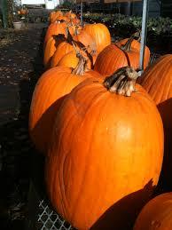 Natural Fertilizer For Pumpkins by Neilcaseysfarmmarket Com Home