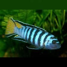 aquarium d eau douce poissons d eau douce pour aquarium en vente en ligne vpc