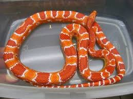 Corn Snake Shedding Signs by 58 Best Corn Snakes Images On Pinterest Corn Snake Reptiles And
