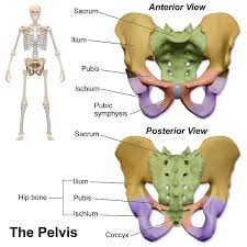Hypertonic Pelvic Floor Muscles by The Tailbone A Literal And Figurative Pain In The Buttpelvic