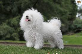 do hypoallergenic dogs still shed 100 images best small breed