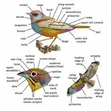 Bird Vocabulary And Parts Of A Bird ESLBuzz Learning English
