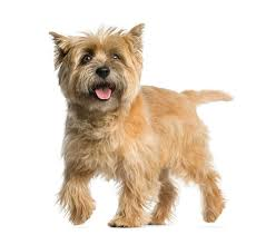 Non Shedding Dog Breeds With Pictures by Hypoallergenic Dog Breed Top Dogs For Allergy Sufferers